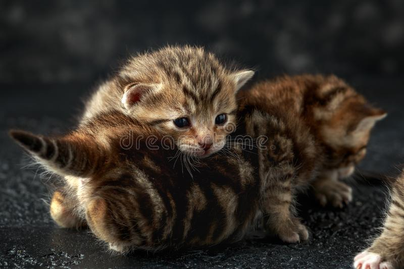 Beautiful tiny baby kittens with bengal fur royalty free stock photography