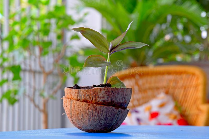 Beautiful Tiny Coconut Shell Planter Pot Container royalty free stock images