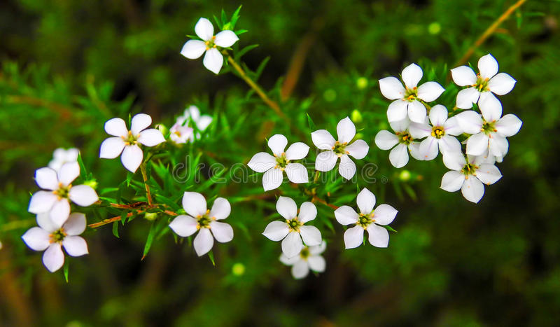 Beautiful tiny flowers 1. Beautiful tiny white flowers in the garden royalty free stock photo