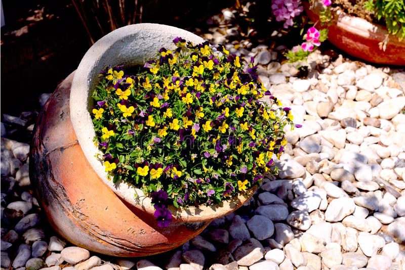 Beautiful tiny tricolored violas. ( Heartsease or Johnny Jump Ups) in the jug stock photography