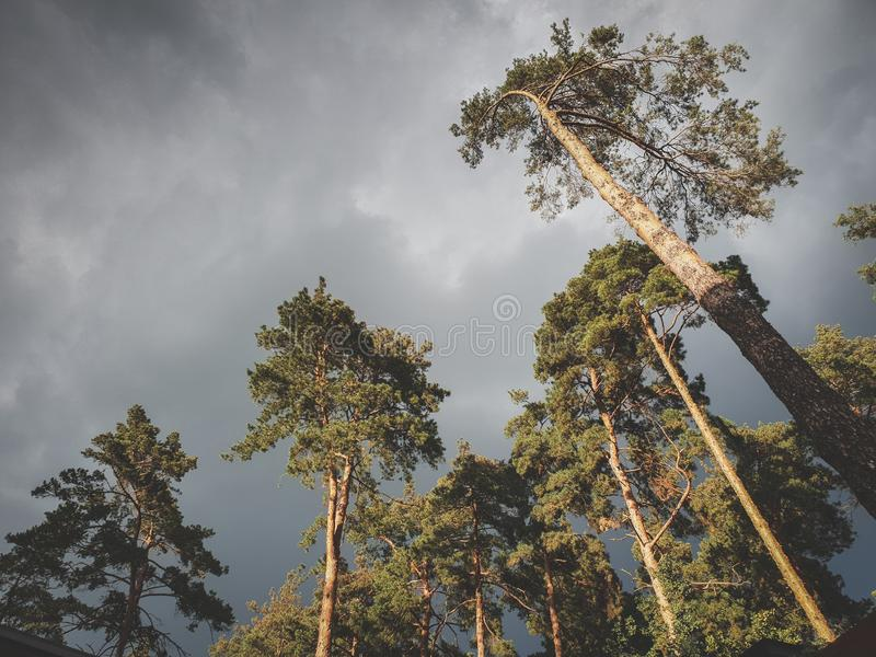 Beautiful toned image of dark gray sky covered with rain clouds over high pine trees in forest. Landscape of spruce royalty free stock image