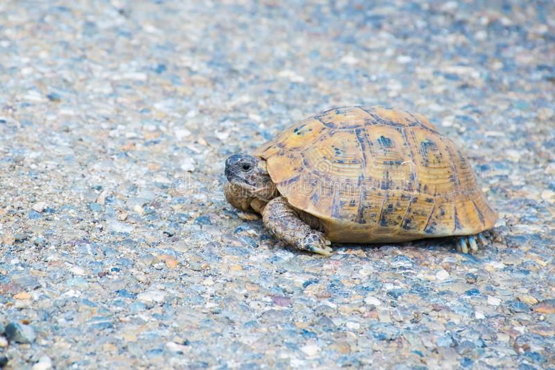 Beautiful tortoise on the road, Morocco, Africa. Beautiful tortoise on the road, Morocco in Africa stock photography
