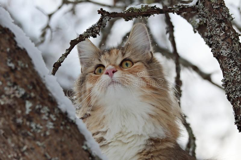 A beautiful tortoiseshell Norwegian forest cat high in a snowy maple tree. In wintertime royalty free stock photo