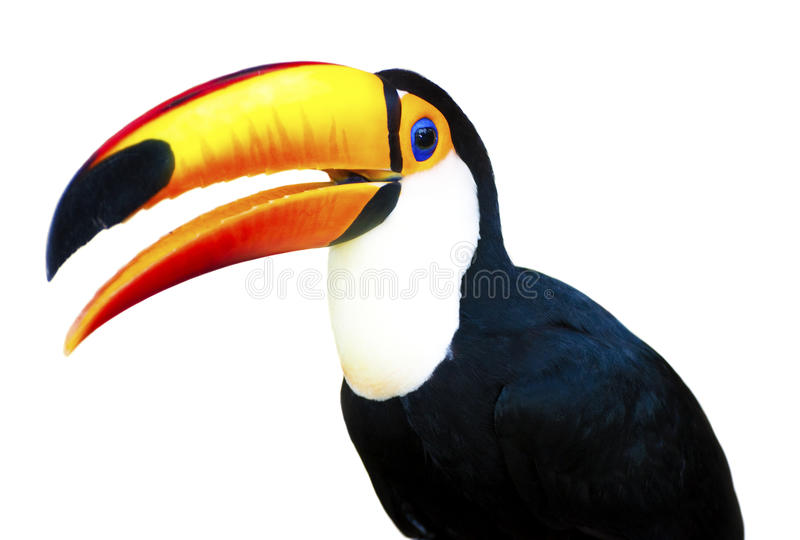 Beautiful Toucan. A beautiful portrait of a toucan against a white background stock photos
