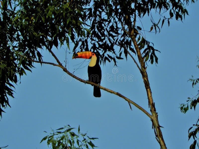 Beautiful toucan in the wild. City of Mococa, São Paulo, Brazil stock photography