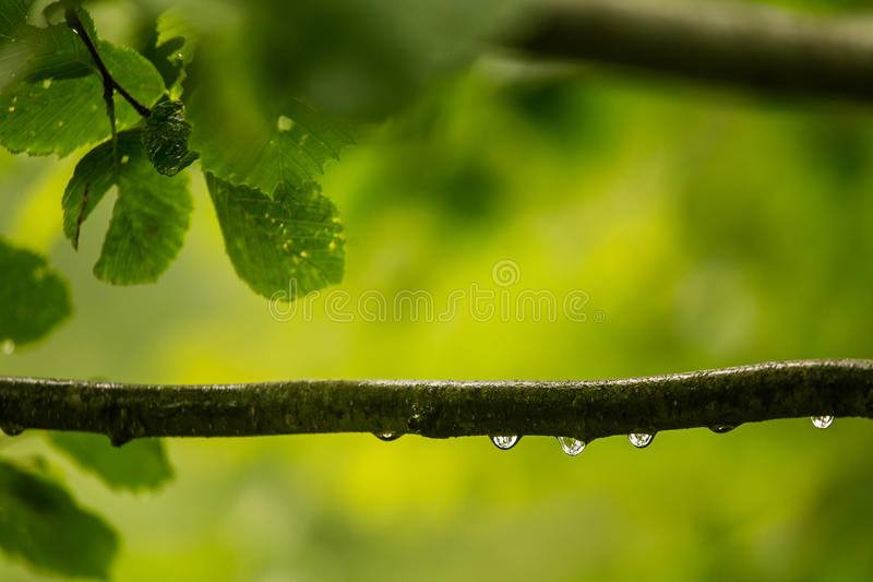 A beautiful, tranquil rain drops on a branch of an alder tree in. A forest. Fresh, natural look royalty free stock photos