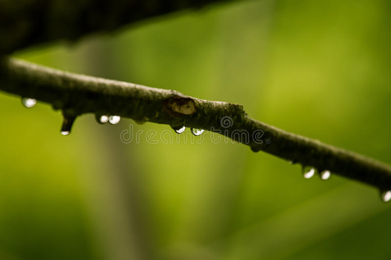 A beautiful, tranquil rain drops on a branch of an alder tree in. A forest. Fresh, natural look royalty free stock photo
