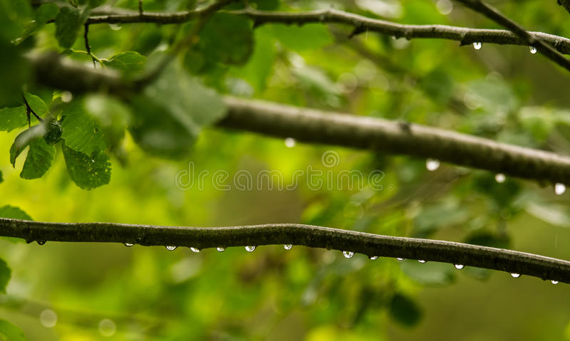 A beautiful, tranquil rain drops on a branch of an alder tree in. A forest. Fresh, natural look stock images