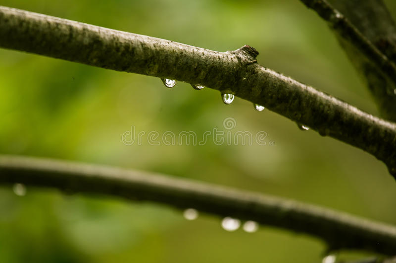 A beautiful, tranquil rain drops on a branch of an alder tree in. A forest. Fresh, natural look stock photo
