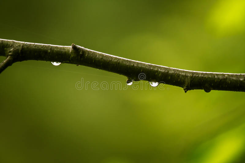 A beautiful, tranquil rain drops on a branch of an alder tree in. A forest. Fresh, natural look stock image