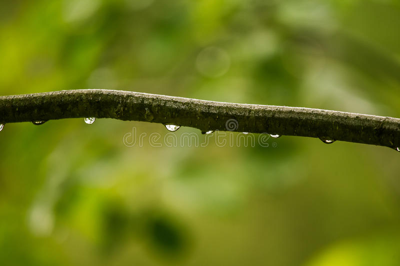 A beautiful, tranquil rain drops on a branch of an alder tree in. A forest. Fresh, natural look royalty free stock image