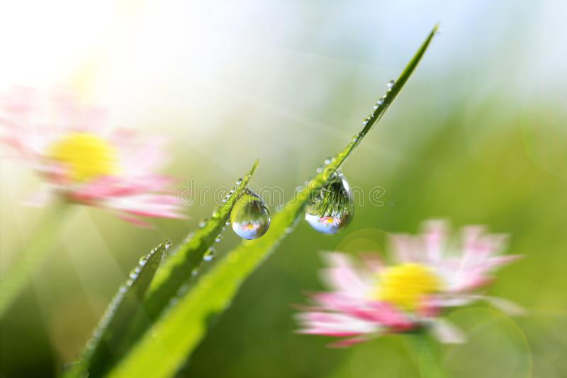 Beautiful transparent drops of water dew on grass close up. stock images