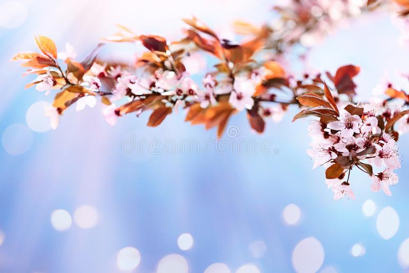 Beautiful tree branch with tiny tender flowers on sunny day, space for text. Awesome spring blossom royalty free stock images
