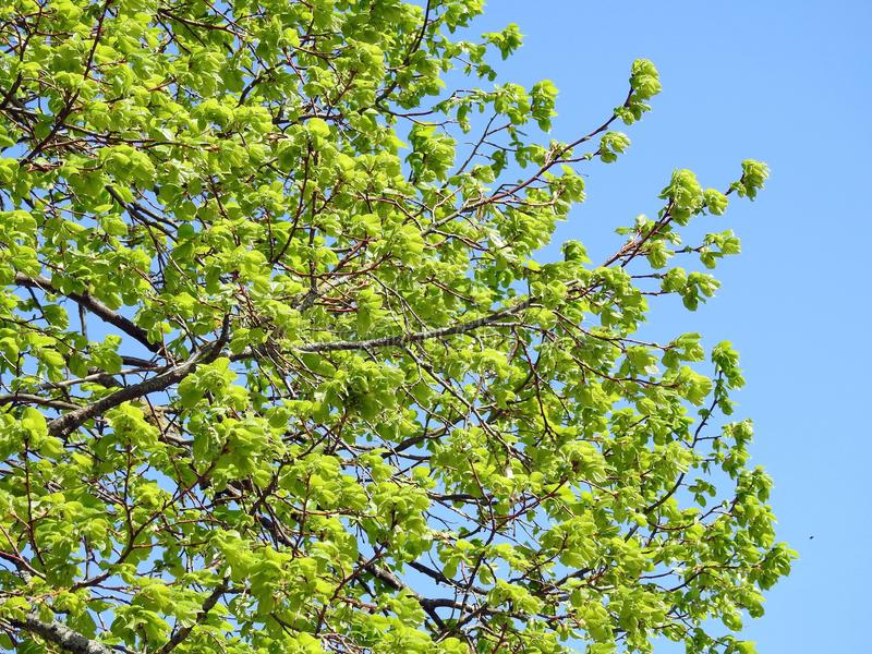 Beautiful tree branches in spring, Lithuania. Beautiful  tree branches in spring, can use as background royalty free stock photo