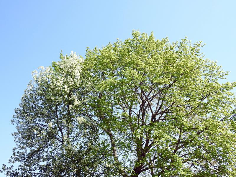 Beautiful tree branches in spring, Lithuania. Beautiful  tree branches in spring, can use as background stock images