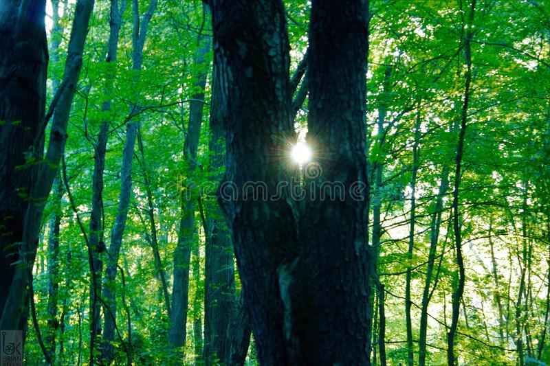 A peek and at the sun. Beautiful tree found on a hike in the Michigan woods with the sun peaking though a perfect Y inthe trees stock photography