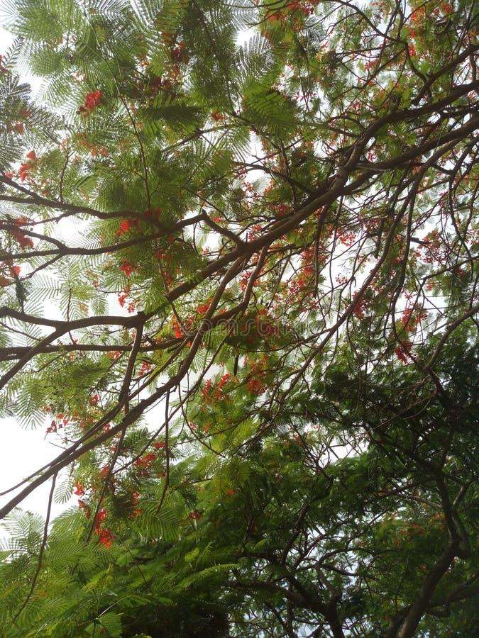 Flowered Tree royalty free stock photo