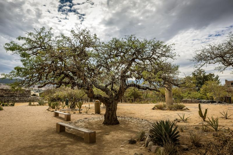 Beautiful tree in the garden of the archeological site of Mitla, Mexico. Beautiful tree in the garden of the archeological site of Mitla, Oaxaca, Mexico royalty free stock images