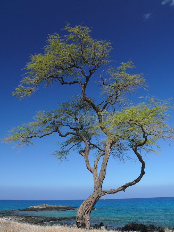Download Beautiful Tree On King Trail, Big Island, Hawaii Royalty Free Stock Photography - Image: 6306527