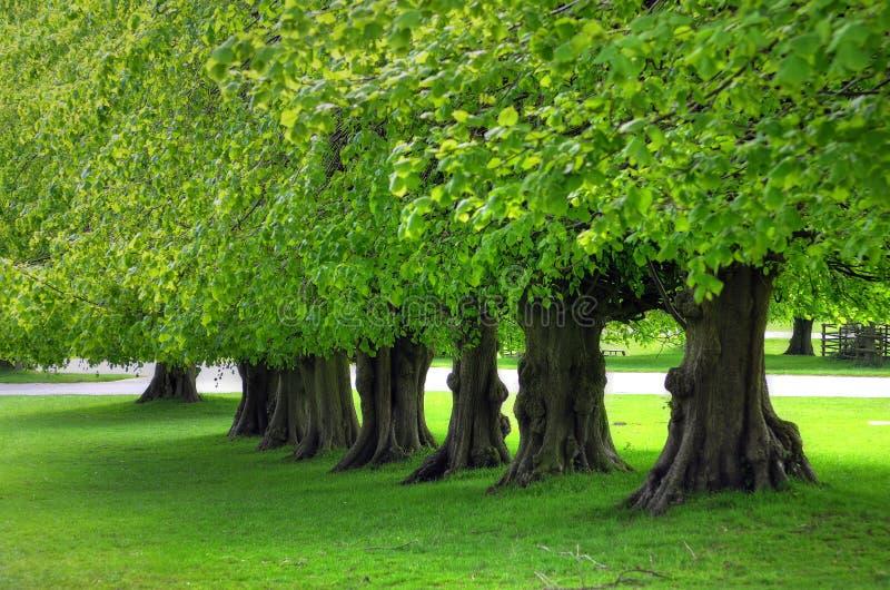 Beautiful tree lined avenue at Lyme Park, Disley, Stockport, UK.  stock photos