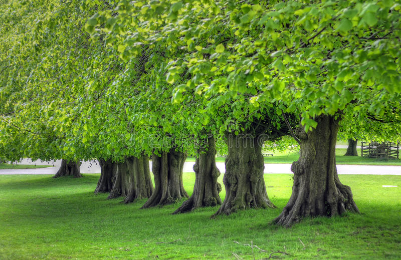 Beautiful tree lined avenue at Lyme Park, Disley, Stockport, UK.  royalty free stock image