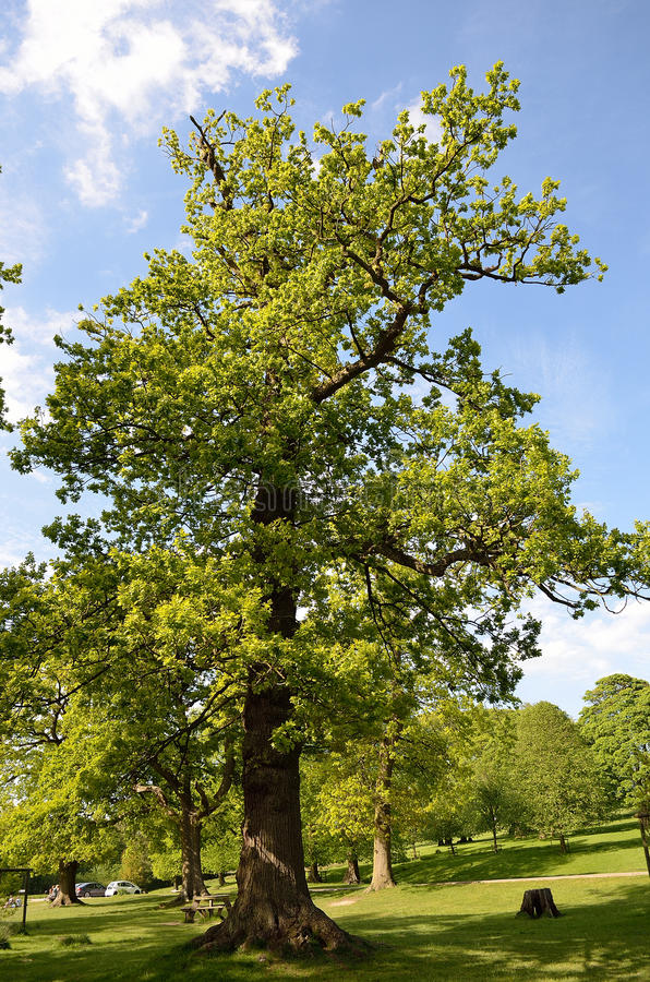 Beautiful tree lined avenue at Lyme Park, Disley, Stockport, UK.  royalty free stock photos