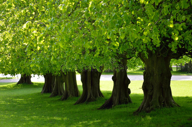 Beautiful tree lined avenue at Lyme Park, Disley, Stockport, UK.  stock images