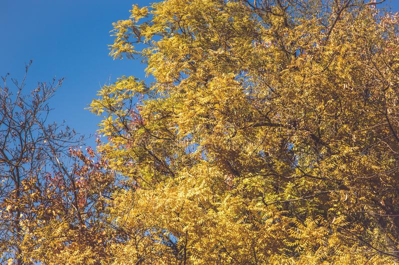 Beautiful tree with orange leaves. Beautiful tree with yellow leaves at Autumn royalty free stock image