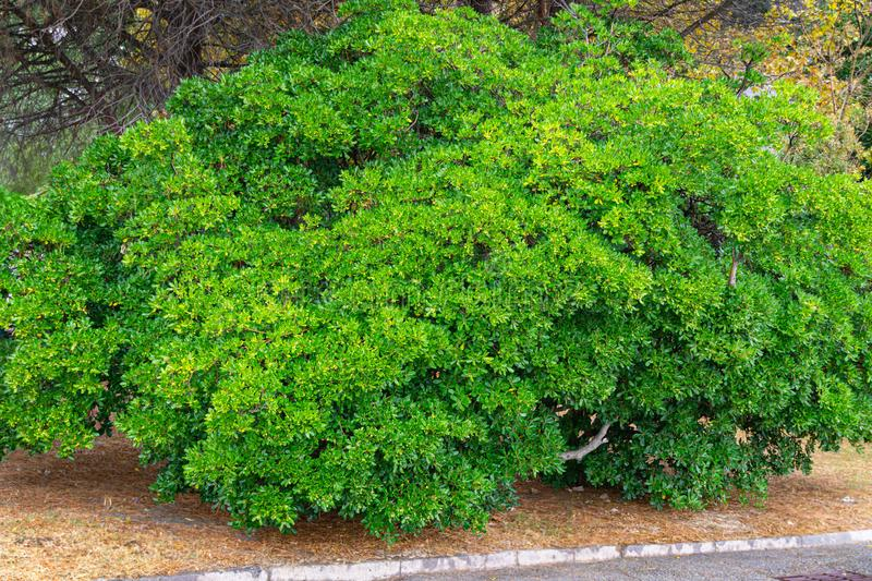 Beautiful tree Pittosporum tobira, Australian laurel or Japanese pittosporum, Japanese cheesewood with green leaves and fruits. In autumn Crimea park. Green stock images