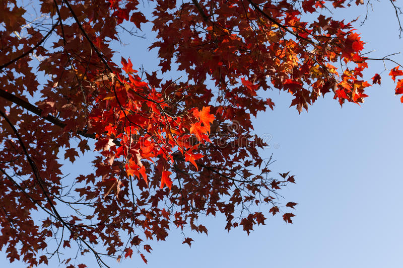 Beautiful tree with red leaves. At Autumn royalty free stock photos