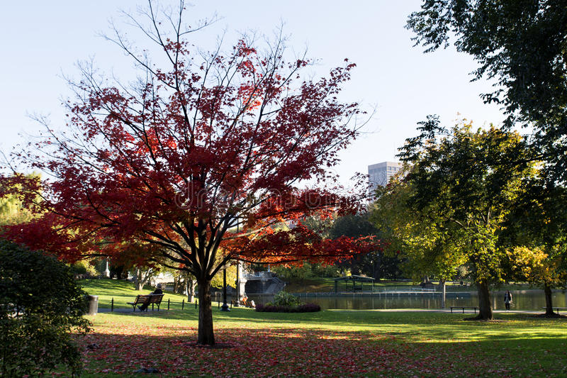 Beautiful tree with red leaves. And carpet of red leaves at Autumn royalty free stock photography