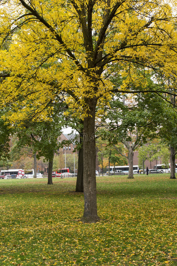 Autumn tree with yellow leaves. Tree with yellow leaves and carpet of yellow leaves at Autumn stock photos