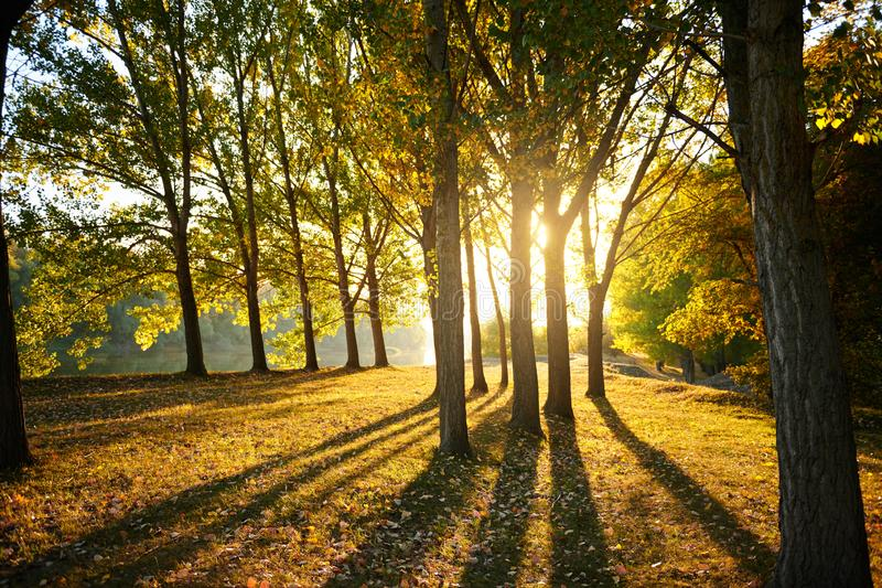 Beautiful trees in the autumn forest, bright sunlight at sunset royalty free stock image