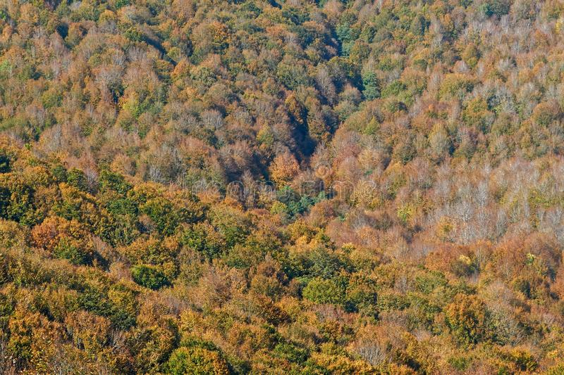 Autumn Forest. Beautiful trees in autumnal forest royalty free stock photos