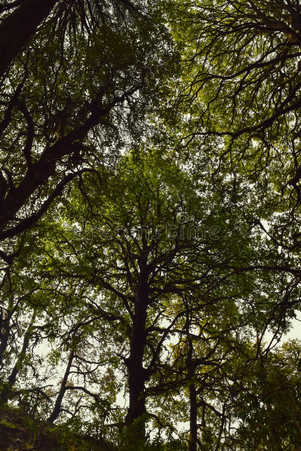 Beautiful trees of Binsar wildlife sanctuary covered whole sky. Dense tree in forest of Binsar stock image