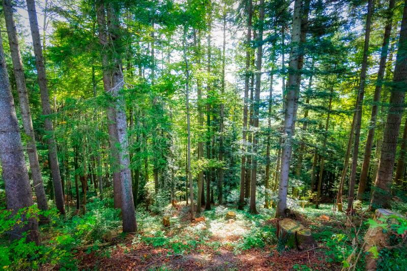 Beautiful trees on daylight at swiss alps royalty free stock photography