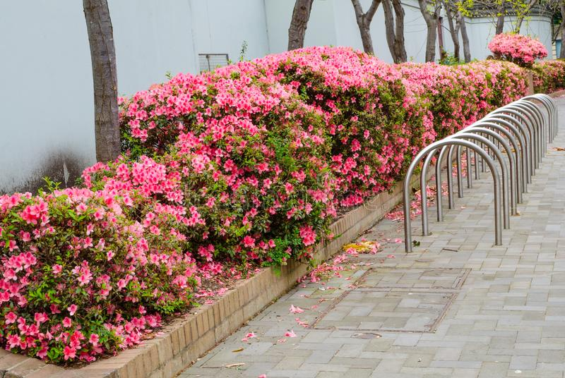 Beautiful trees full of pink flowers near Parking Rack Storage Stand Bicycle in public park in Sydney Australia. royalty free stock images