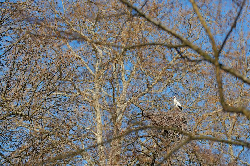 Beautiful trees in nature, with bird in the nest. White stork, Ciconia ciconia, in nest with two chicks. Wildlife scene from the. Nature. Morning sun with bird royalty free stock image