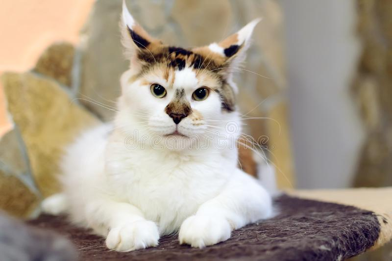 Beautiful tri-color cat Maine Coon with big tassels on the ears stock photo