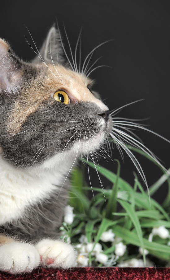 Beautiful tri-color cat royalty free stock photography