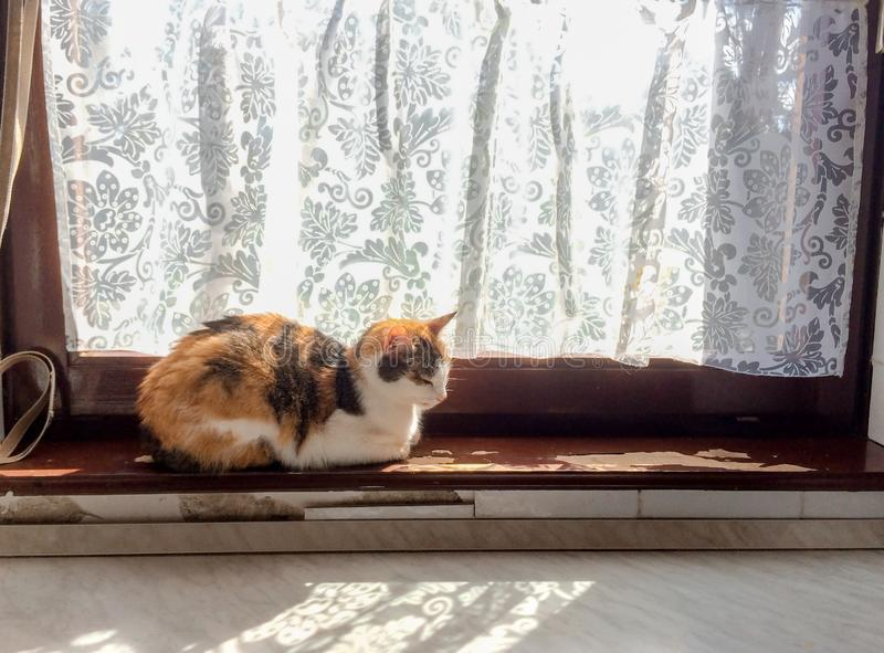 Beautiful tricolor cat basks in sun on old peeling paint windowsill royalty free stock photography