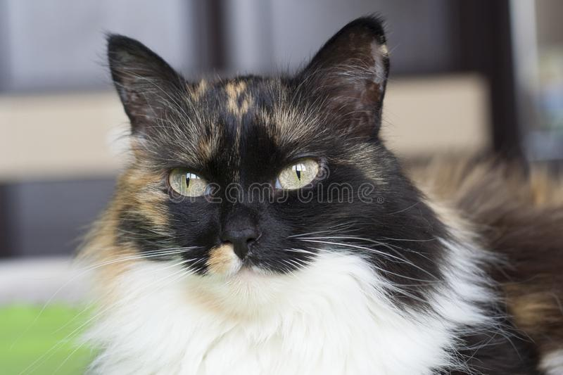Beautiful tricolor cat, black nose stock photography