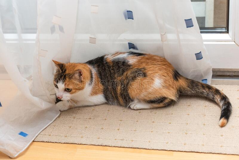 Beautiful tricolor cat lies on white curtains near window.  stock images