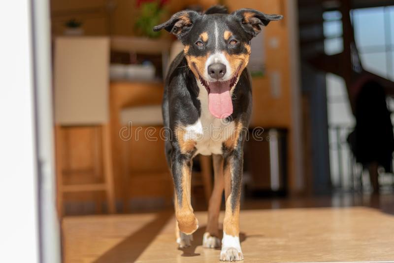 Beautiful tricolor Dog run on a wood floor in a House. Appenzeller Sennenhund royalty free stock image