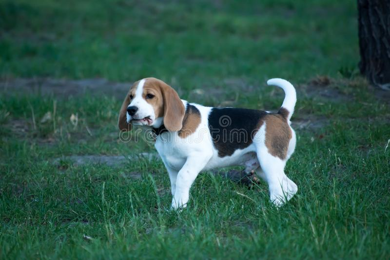 Beautiful Tricolor Puppy Of English Beagle. Portreit. stock photo