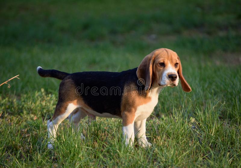 Beautiful Tricolor Puppy Of English Beagle stay On Green Grass. Beagle Is A Breed Of Small Hound, Similar In Appearance To The Muc stock image