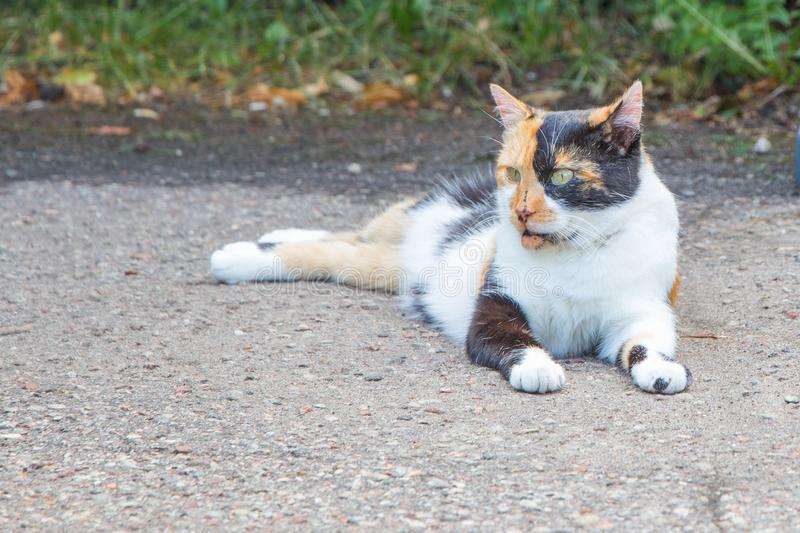 Beautiful tricolored cat is sitting on the road Backspace royalty free stock photos