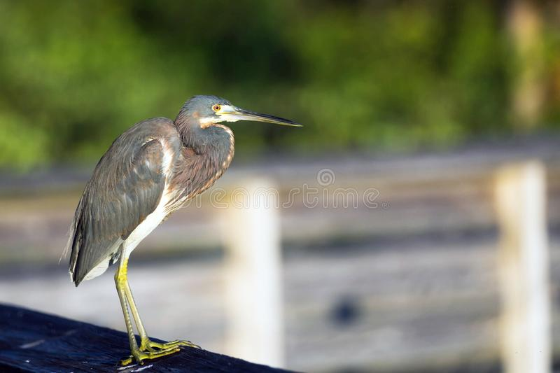 Tricolored heron on boardwalk royalty free stock photography