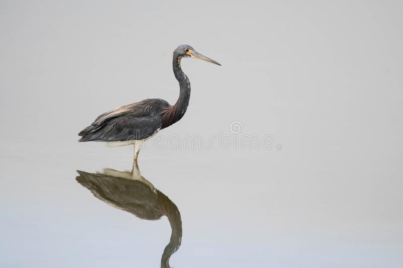 Beautiful Tricolored Heron Egretta tricolor on a pond royalty free stock photo