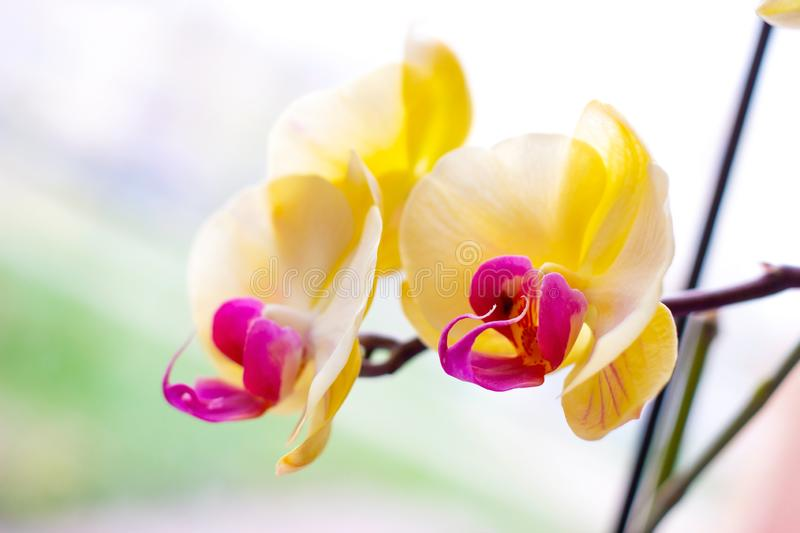 Beautiful tropical exotic branch with pink and yellow Moth Phalaenopsis Orchid flowers in spring royalty free stock images
